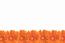 Row of orange Gerber daisies.