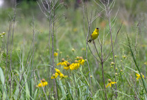 yellow bird and yellow wildflowers