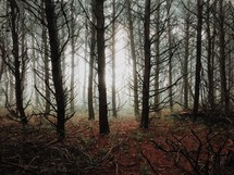 bare trees in a foggy forest