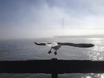 Sea gull taking flight over the ocean.