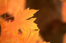 yellow fall leaf