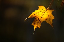 yellow fall leaf
