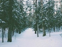 A snow covered forest of pine trees.