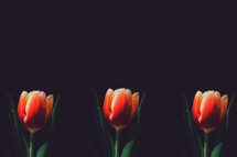 tulips against a black background