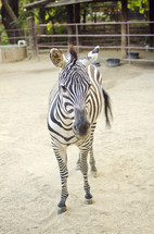 zebra at a zoo