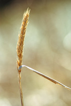 Stalk of wheat.