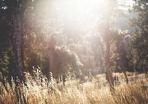 bright sunlight on a field of tall grasses