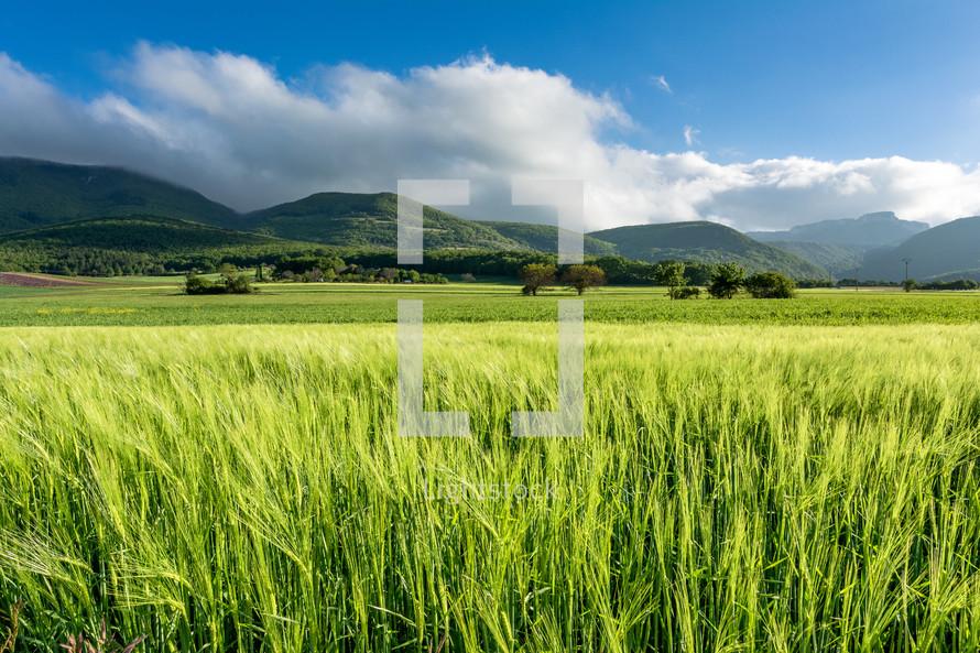 green cornfield