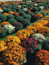 rows of colorful chrysanthemums