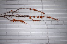 Vine growing on a brick wall.