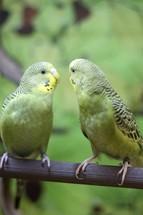 Budgerigar parakeets