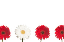 row of red and white gerber daisies