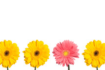 yellow and pink gerber daisies in a row