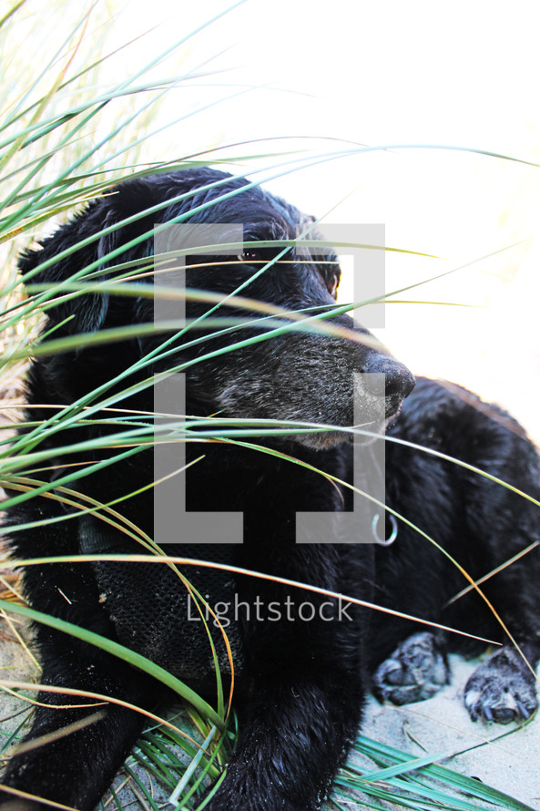Dog laying on sand near seagrass.