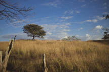 A tree on the horizon line surrounded by high, golden-colored grass in Costa Rica