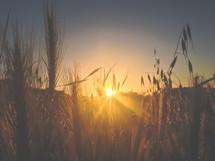 Sunset shining through stalks of grain.