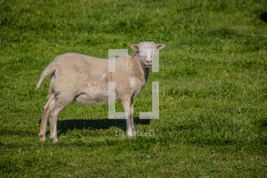 sheep standing in grass