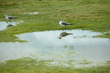 seagulls  standing in puddles