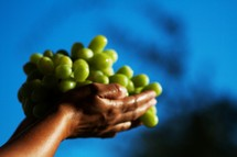 Hands holding a bunch of green grapes