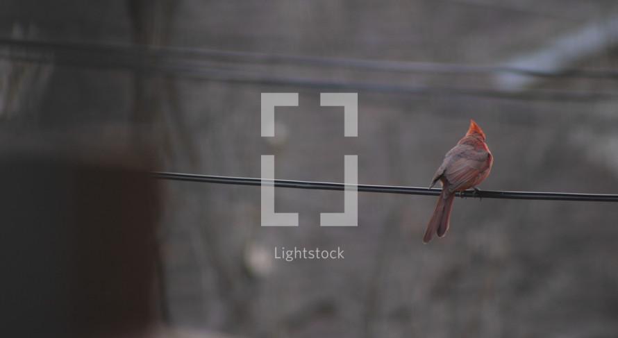cardinal on a power line