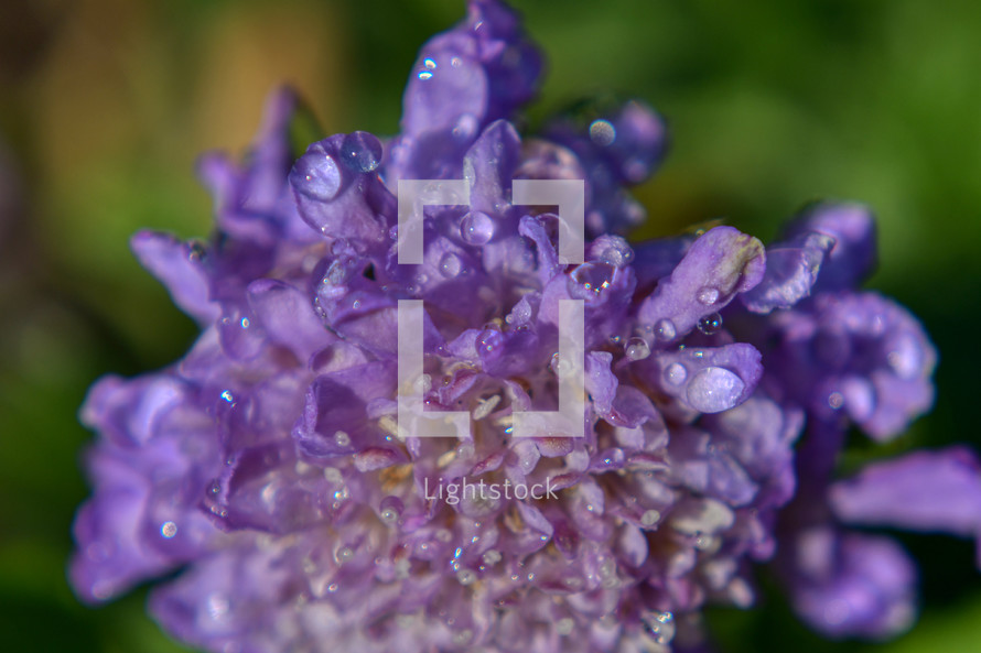 purple flower with morning dew