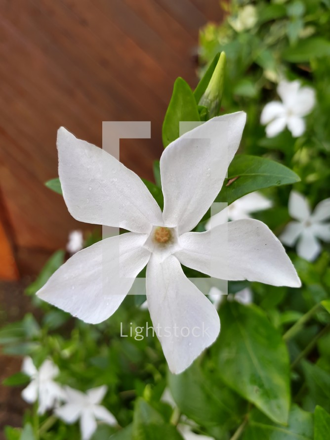 White Intermediate Periwinkle on Brown and Green Background
