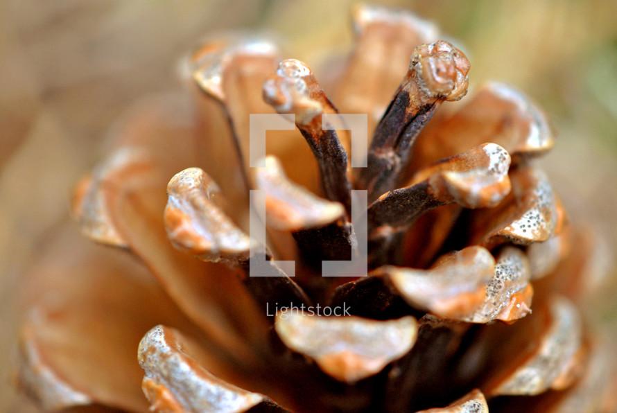 Pine cone, closeup