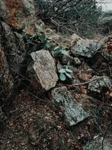 prickly pear cactus growing between rocks