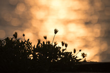silhouettes of wildflowers at sunset