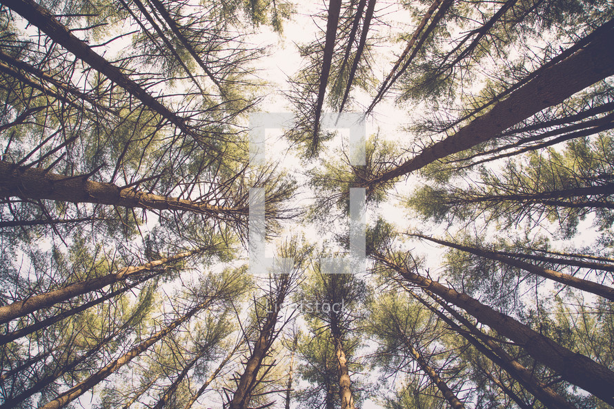 looking up to the tops of trees in a forest