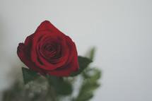red long stem rose