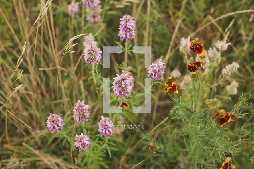 purple wildflowers (horse mint), Texas wildflowers