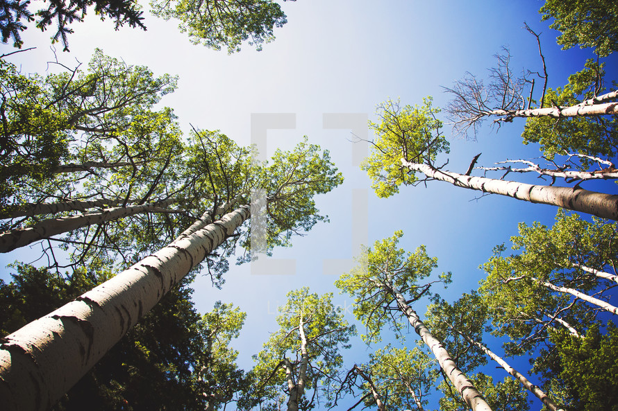 looking up to the tops of trees and a blue sky