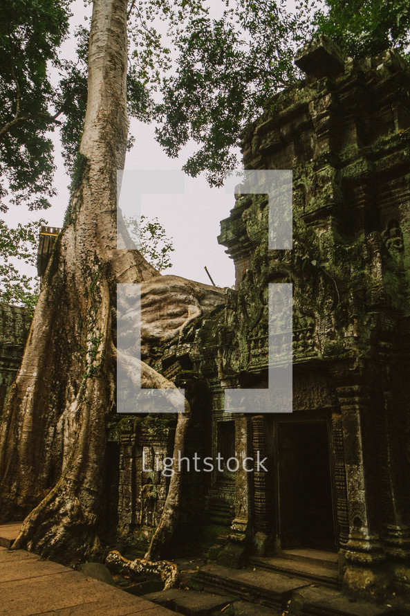 tree growing from ruins in Cambodia