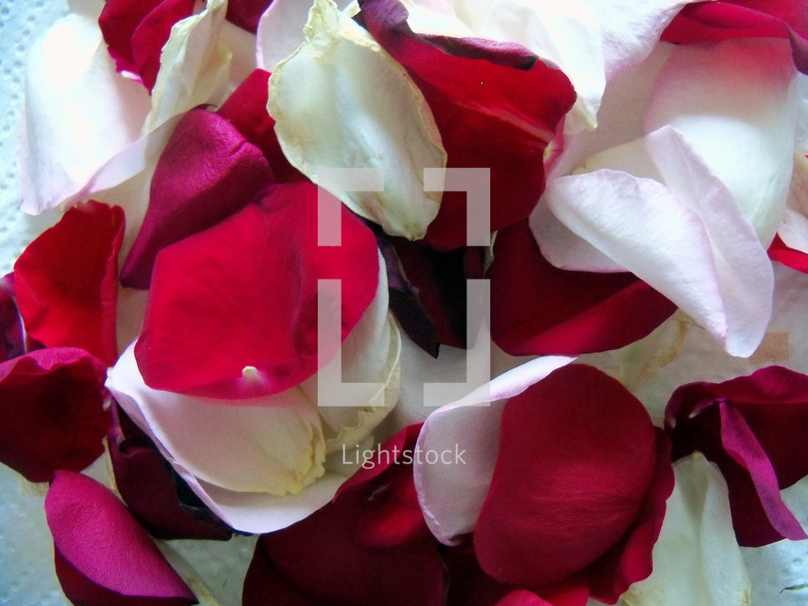 A group of Red, pink and white rose pedals provide a background of soft, fragrant and romantic colors to celebrate valentines day or any romantic occasion.