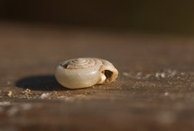 An up-close, macro photograph of a tiny snail shell smaller than pea laying on a piece of wood.