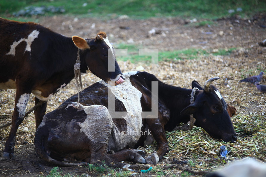 cows lying in a pasture