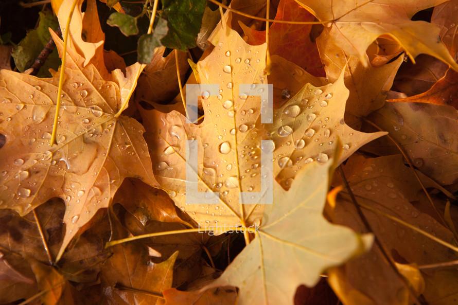 rain droplets on fall leaves
