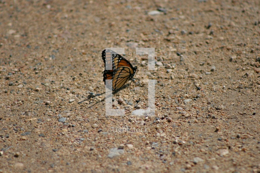 Butterfly on gravel road