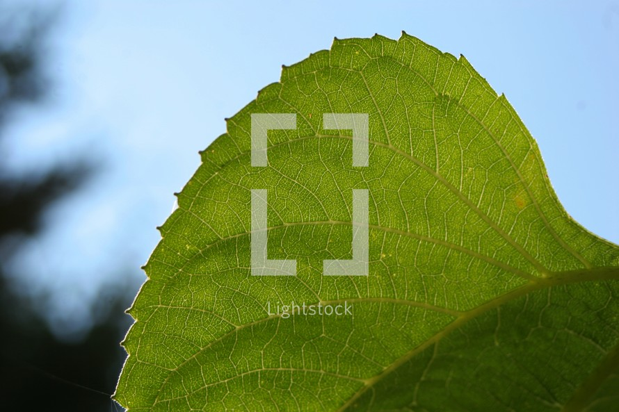 Backlit leaf closeup.