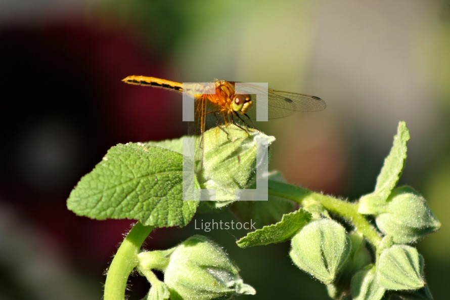 Dragonfly on flower. (Hollyhocks)