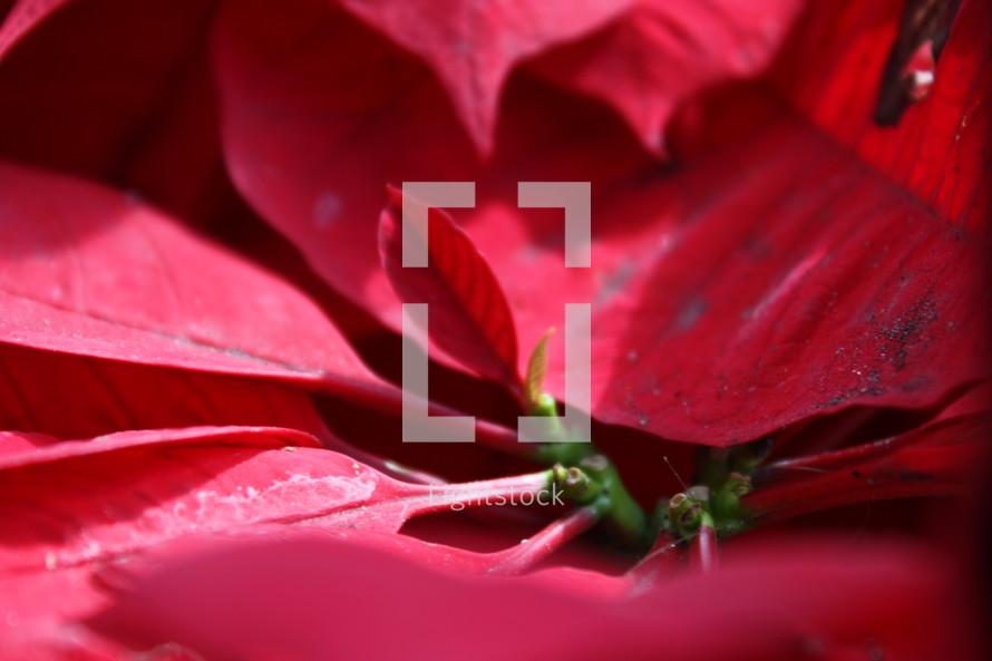 closeup of Poinsettia leaves