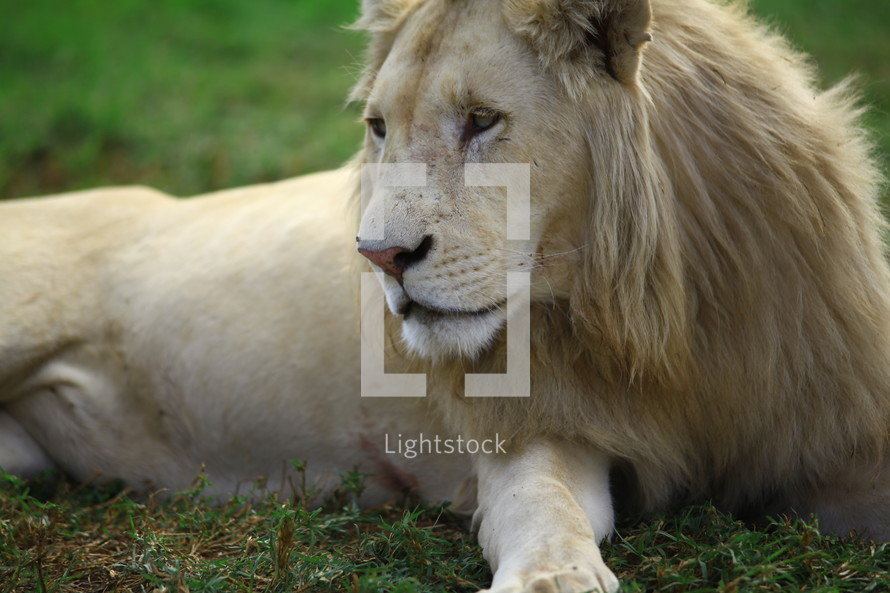 Lion lying on the ground