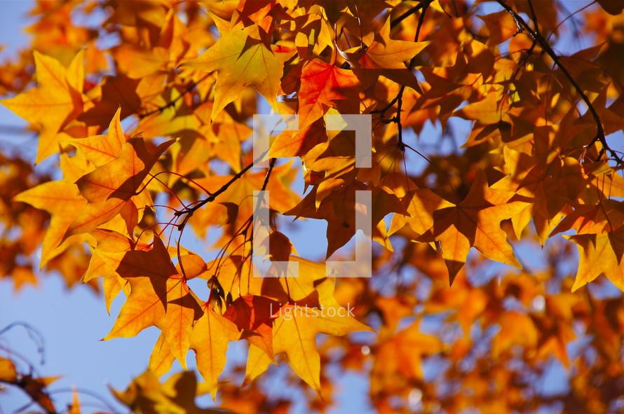 fall leaves on sweet gum tree. Autumn, fall, season, harvest, orange, red.