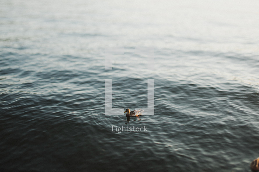 duck on a lake