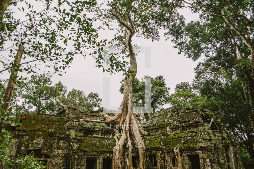 tree roots and ruins in Cambodia