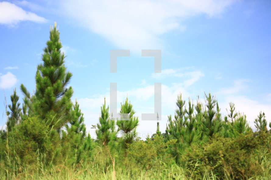 Pine trees in field