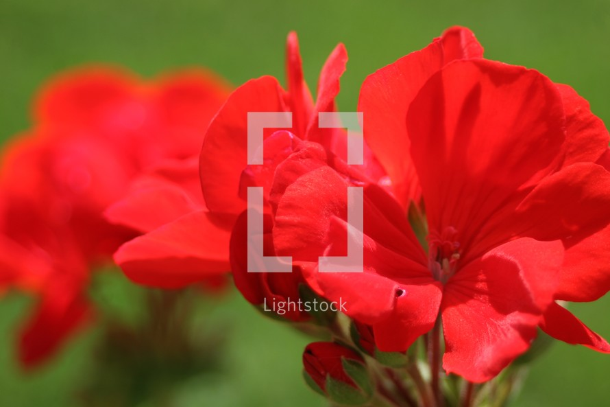 Red flower. (Geraniums)