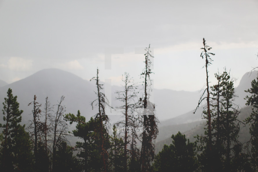 pine forest and a fog covered mountain peak