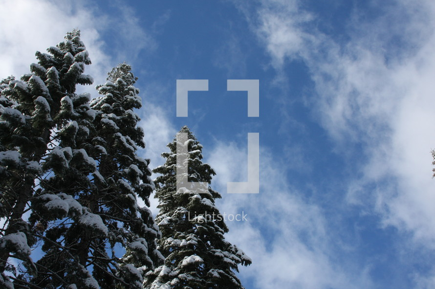 Snow capped pine trees